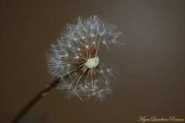 A.dandelion